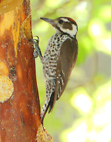 Male Arizona woodpecker
