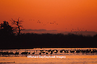 00882-00315 Sandhill Cranes (Grus canadensis) at sunset on the Platte River near Kearney NE
