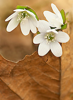 Hepatica blooms at Lyon Woods Forest Preserve in Kendall County, Illinois.  One of spring's first wildflowers, it is shown against one of last season's Sycamore leaves.