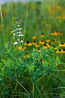 Baptisia bracteata, Cream Wild Indigo flowering in Tallgrass Prairie Preserve, Oklahoma