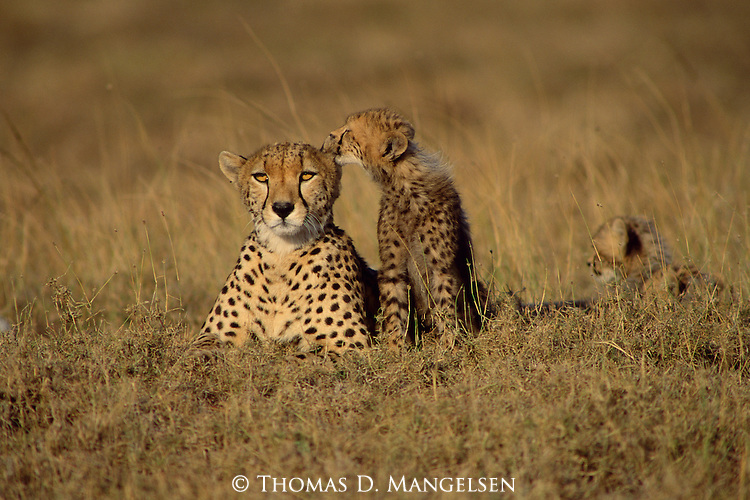 A family of cheetahs passes the sweltering afternoon lounging in the grass of the vast savannah of the Maasai Mara Game Reserve in Kenya.