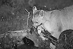 Juvenile Patagonian Puma feeding on the carcass of a Guanaco at night. Torres del Paine national park, Chile