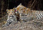 Leopard grooms first year cub, Okavango Delta, Botswana