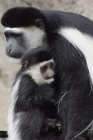 Black and White Colobus Monkey (Colobus guereza)--mother with young.