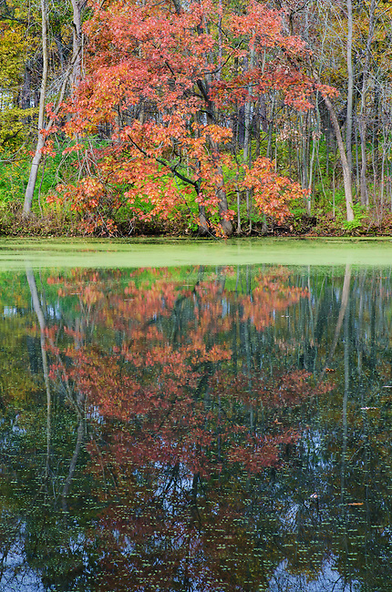 A brilliant Maple tree reflecys its image onto a pond at Green Valley Forest Preserve in DuPage County, Illinois