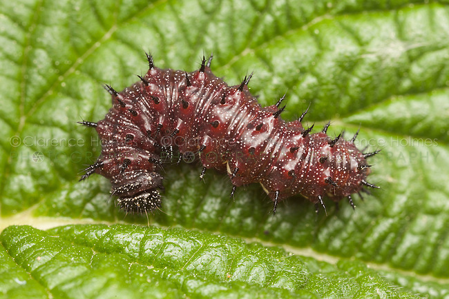 Red Admiral Butterfly (Vanessa atalanta) caterpillar (larva), Ward Pound Ridge Reservation, Cross River, Westchester County, New York