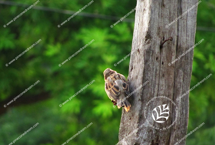 House-sparrow clinging to  tree-trunk turning back