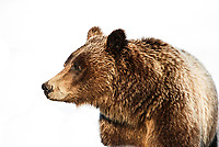 """Dubbed """"The Queen of the Tetons"""", Grizzly Bear #399 is probably the most famous bear in the world. Thought to be approximately 22 years old, she has raised numerous sets of cubs in Grand Teton National Park, Wyoming."""