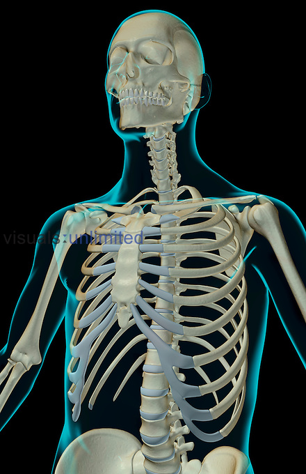 An anterolateral view (left side) of the bones of the upper body. The surface anatomy of the body is semi-transparent and tinted green. Royalty Free