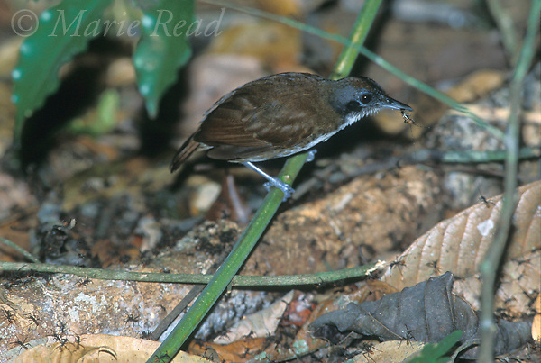 Bicolored Antbird (Gymnopithys leucaspis) holding insect prey at an army-ant swarm, Soberania National Park, Panama.<br /> Slide B101-101