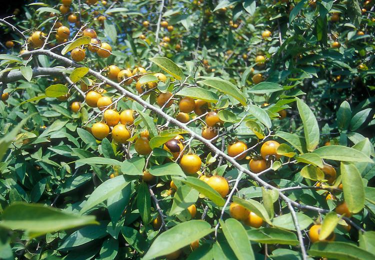 Diospyrus montana in fruit Mountain persimmon native plant American, ripe orange fruits