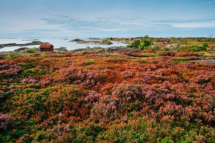 Klippor och fält med blommande ljungblommor på Ut-Fredel  i Stockholms ytterskärgård.