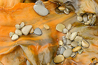 Pebbles on seaweed.<br /> Forillon National Park<br /> Quebec<br /> Canada