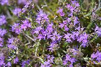 Flowering Thyme - Syros Greece