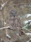 Great Gray Owl (Strix nebulosa), in snowstorm, Sax-ZIm Bog, Minnesota, USA
