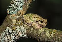 COMMON GRAY TREEFROG..Ontario, Canada..(Hyla versicolor).