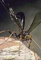 1W17-016z  Giant Ichneumon Wasp - Megarhyssa atrata - parasitic wasp