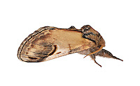 71.013 (2003)<br /> Pebble Prominent - Eligmodonta ziczac