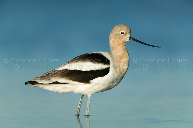 An American Avocet (Recurvirostra americana) wading in shallow water near the east beach of Fort Desoto Park, Tierra Verde, Florida.