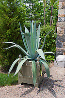 Huge specimen blue Agave in pot container, evergreen trees, shrubs, for huge impact in the garden