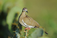 White-winged Dove (Zenaida asiatica), adult perched on Texas Prickly Pear Cactus (Opuntia lindheimeri), Dinero, Lake Corpus Christi, South Texas, USA