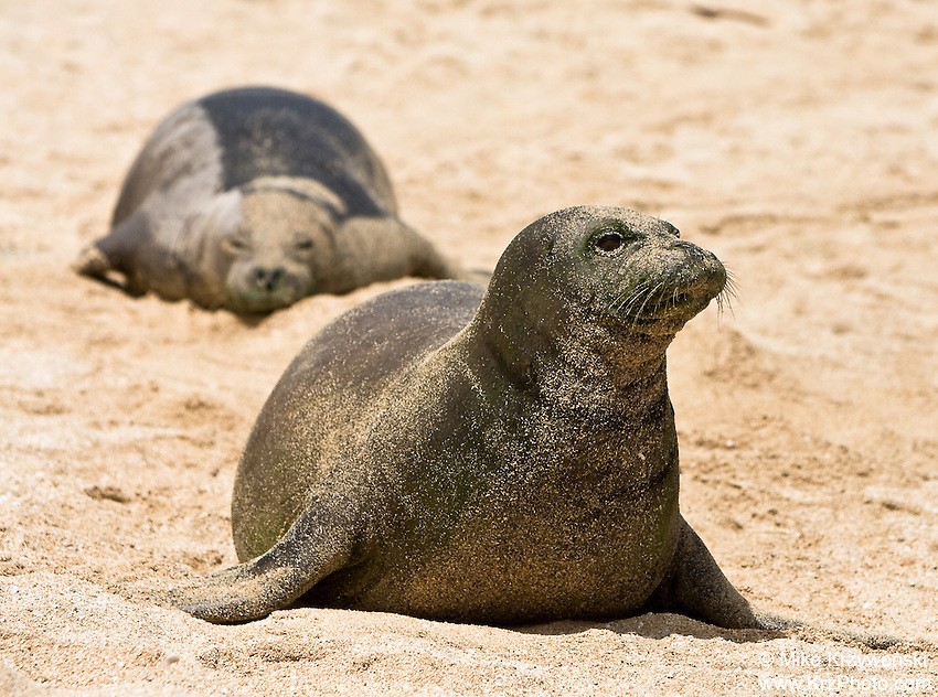 Pair of Hawaiian Monk Seals, Keiki Beach, North Shore, Oahu