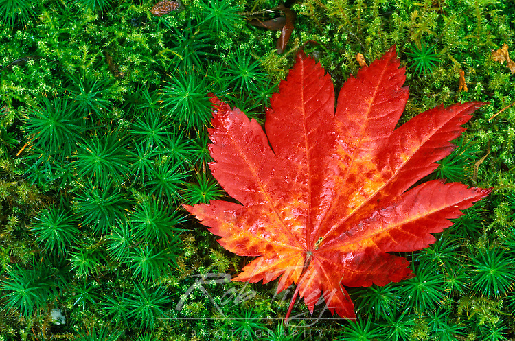 Maple Leaf on Moss, Japanese Garden, Seattle, WA, USA