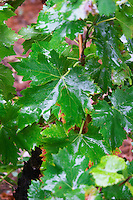 Wine leaves in the vineyard wet under the rain. Domaine la Tourade, André Andre Richard, Gigondas, Vacqueyras, Vaucluse, Provence, France, Europe