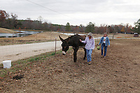 Deb Kidwell, left, and farm manager Susan Powell, right, lead AMJR PCF Genesis, an American Mammoth Jackstock, towards the food pin on Monday, Nov. 22, 2010 at Lake Nowhere Mule and Donkey Farm in Martin, Tenn. Kidwell breeds American Mammoth Jackstock, the only American breed of Ass, and one started by George Washington. The breed, however, is dying off with the mechanization of farm equipment.