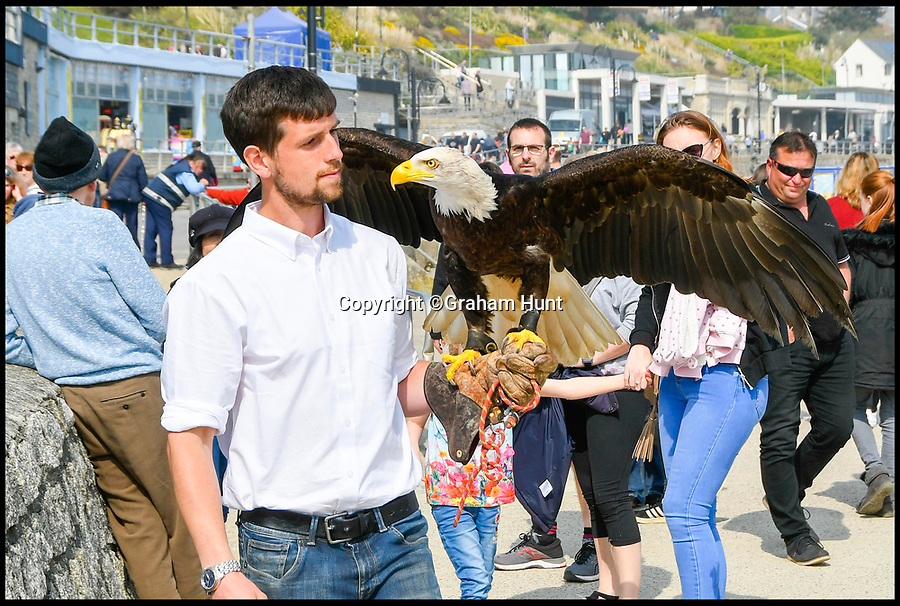 BNPS.co.uk (01202 558833)<br /> Pic: Graham Hunt/BNPS<br /> <br /> Kojak the Bald Eagle with her handler James Herbert from Xtreme Falconry near Dorchester. <br /> <br /> The Seagulls have landed...<br /> <br /> Lyme Regis council have come up with a cunning plan to rid the Dorset seaside town of its seagull menace this Easter - they've recruited two huge bald eagles to patrol the genteel resort.<br /> <br /> Tourism bosses fear over aggressive seagulls are scaring away visitors and have hired the two fearsome birds of prey to patrol the beaches and promenades this Easter.<br /> <br /> Like many coastal resorts, Lyme Regis in Dorset has a longstanding problem with angry gulls attacking tourists and pinching their chips and ice creams.<br /> <br /> Initial reports after the first deployment of eagles Winnie and Kojak yesterday suggest that the Seagull's are now keeping their distance.