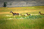 Pronghorn antelope and two fawns near Thermopolis, Wyoming.
