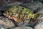 Epinephelus adscensioni, Rock hind, Florida Keys
