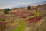 Idaho, North Central, Lenore.  A carpet of grass covers a country road surronded by red autumn shrubbery.