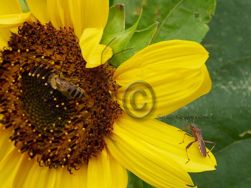 A bee gathering nectar from a sunflower. On the flowers, encounters with other insects are frequent as this western conifer seed bug.<br /> Une abeille butine sur une fleur de tournesol. Sur les fleurs les rencontres avec d&rsquo;autres insectes sont fr&eacute;quentes comme cette rencontre avec une punaise de pin.