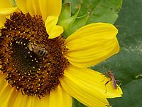 A bee gathering nectar from a sunflower. On the flowers, encounters with other insects are frequent as this western conifer seed bug.<br /> Une abeille butine sur une fleur de tournesol. Sur les fleurs les rencontres avec d'autres insectes sont fréquentes comme cette rencontre avec une punaise de pin.