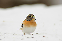 Brambling (Fringilla montifringilla), male eating seeds on snow, Zug, Switzerland, December 2007