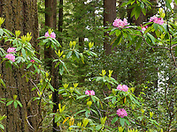 Redwood & Rhododendron II