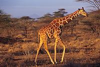 Reticulated Giraffe (Giraffa camelopardalis) Samburu National Reserve, Kenya.