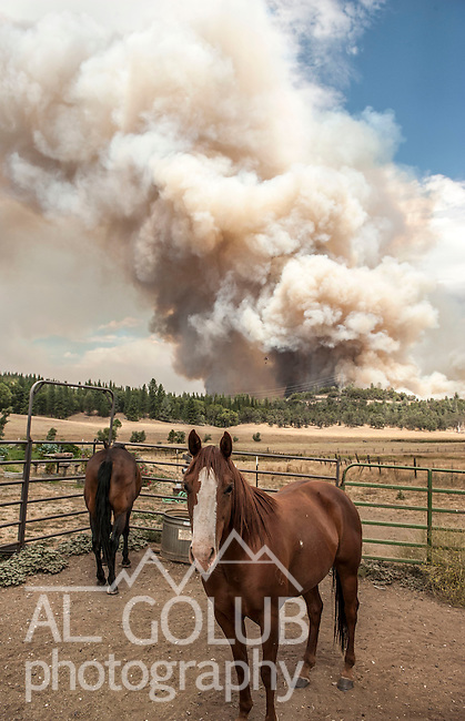 -Rim Fire- Horses play little attention to large column of smoke in Kasabaum Meadows.