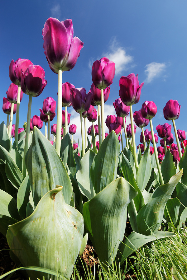 Purple tulips, Skagit Valley, Mount Vernon, Washington