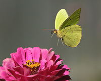 Cloudless Sulphur (Phoebis sennae)Permanent resident from Argentina north to southern Texas and the Deep South.