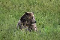 Grizzly bear in Yellowstone National Park