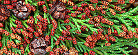 Red catkins of Port Orford Cedar (chamaecyparis lawsoniana) and cones. Corvallis, Oregon.