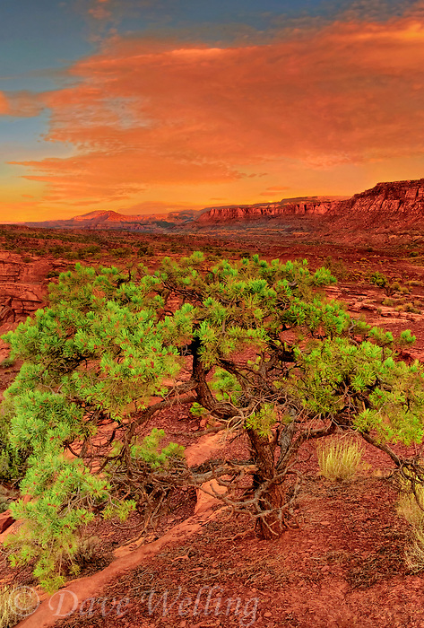 731350251v sunrise lights up the red rock formations of the waterpocket fold and a singleleaf pinyon pine pinus monophylla in capitol reef national park utah united states