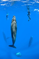 snorkelers observing a pod of sleeping sperm whales, Physeter macrocephalus, according to a study, sperm whales doze in the upright drifting posture for about 10 to 15 minutes at a time, Dominica, Caribbean Sea, Atlantic Ocean, photo taken under permit n°RP 16-02/32 FIS-5