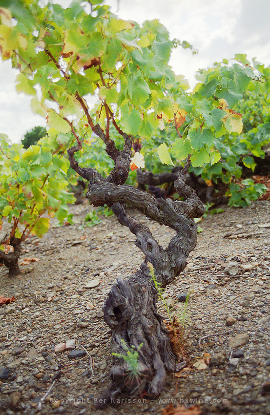 Grenache. Cave cooperative Cellier des Dominicains, Collioure. Collioure. Roussillon. Vines trained in Gobelet pruning. Vine leaves. Old, gnarled and twisting vine. France. Europe. Vineyard.