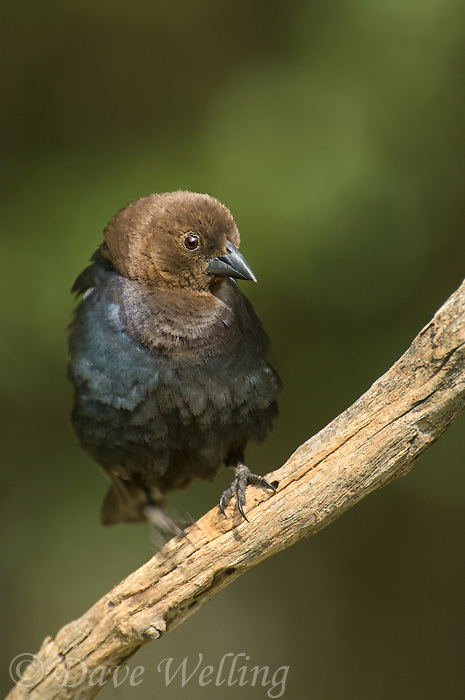 512460014 wild male brown-headed cowbird molothus ater perches on a tree limb in the rio grande valley of south texas