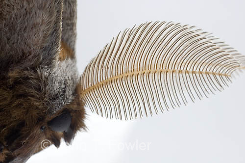 Antennae of male Polyphemus Giant Silk Moth
