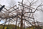 Japanese sakura tree being trained over a complex structure of bamboo scaffolds and supporting posts. Niwaki gardening art. Uji, Kyoto Prefecture, Japan