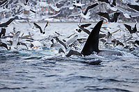 Killer whale Orcinus orca Gulls feeding on herring driven to surface by adult male Tysfjord Arctic Norway North Atlantic